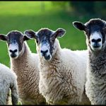 3 Sheep - Click to see larger image