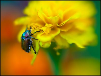 Macro-beetle on flower